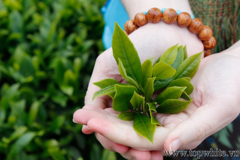 công dụng của trà xanh trong làm đẹp